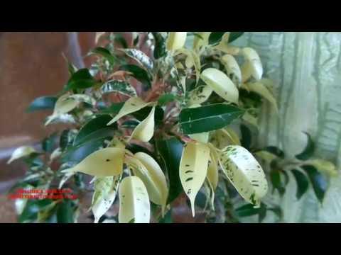 Обзор Ficusa Rubiginosa Variegata. Фикус рубигиноза варигатный. Комнатные растения