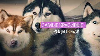 Самые красивые породы собак в мире ( ТОП 10 )