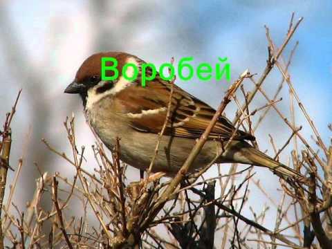 Как поют птицы слушать