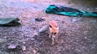 Нападение бешеной лисы(, 2014-10-12T16:09:42.000Z)