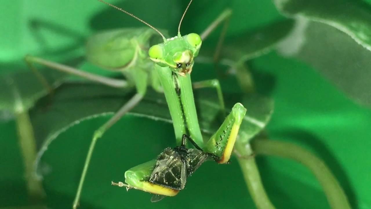 фото насекомое богомол