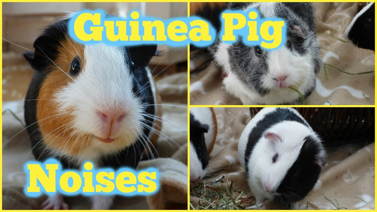 Guinea Pig Noises And What They Mean Youtube