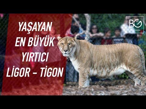 Yaşayan En Büyük Yırtıcı   Liger ve Tigon