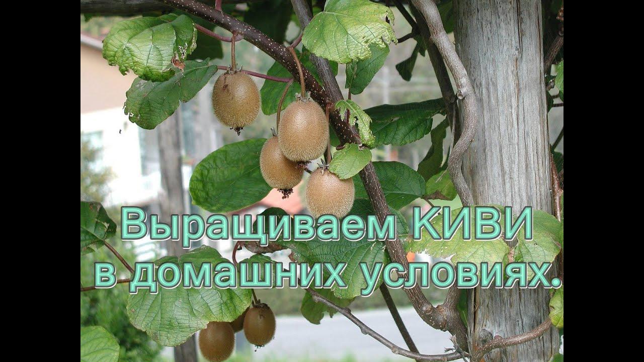 Выращиваем КИВИ в Домашних условиях.