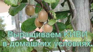 Выращиваем КИВИ в Домашних условиях.(Это очень просто! Мой канал находится тут: http://www.youtube.com/user/MsElenaMatveeva Спасибо за ваши ПОДПИСКИ, за ваши ЛАЙКИ!..., 2015-04-12T17:41:04.000Z)