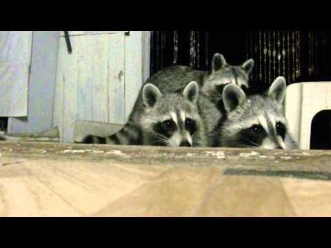 Baby Raccoon Cat Food Party. (4 Raccoons, 1 Cup)