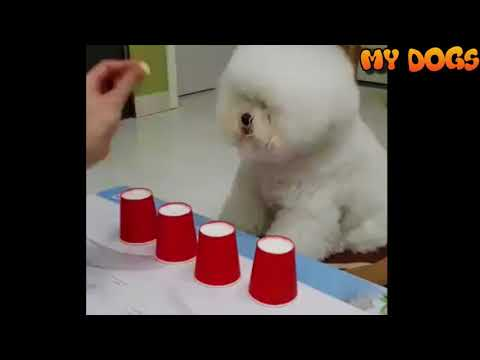 Bichon Frise Dog Very Smart#Funny&Cute