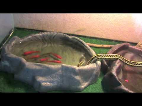 Garter Snake Catching Fish