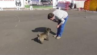 Керн-терьер, Интернациональная выставка собак в Великом Новгороде ранга CACIB