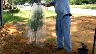 **Plant a Cedar Tree Tree**++Juniperus virginiana++Native Evergreen Tree++
