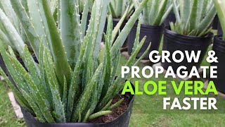 How To Grow and Propagate Aloe Vera Faster Using Hydroponic Solution
