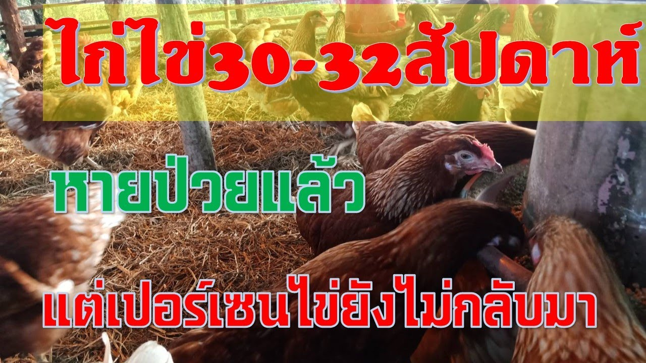 ไก่ไข่ 30-  32 สัปดาห์ เปอร์เซนไข่ยังไม่กลับมา