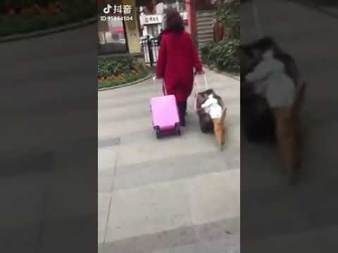 Cat Series: Cat that helps to push luggage