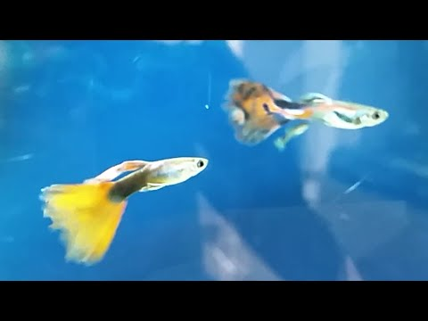 Guppy Best Tank Mates And Popular Fish Which Should Not Be Kept With Guppies
