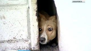 Вести-Хабаровск. Собака спасена