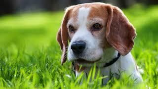 Как собрать мочу у собаки на анализ в домашних условиях?