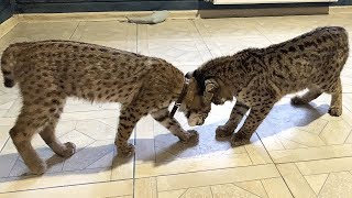 BOBCATS LUNA AND RUFUS MEETING FOR THE FIRST TIME