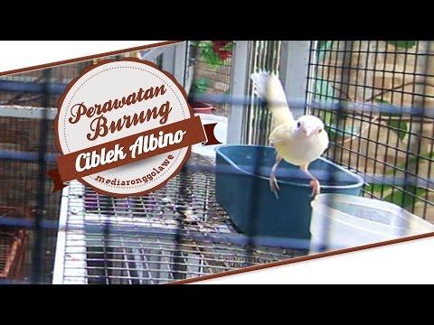 DUNIA HOBI : Perawatan Burung Unik Langka Ciblek Albino Ngebren