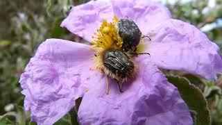 Bellissimi Scarabei su un fiore - Wonderful Beetle on a flower