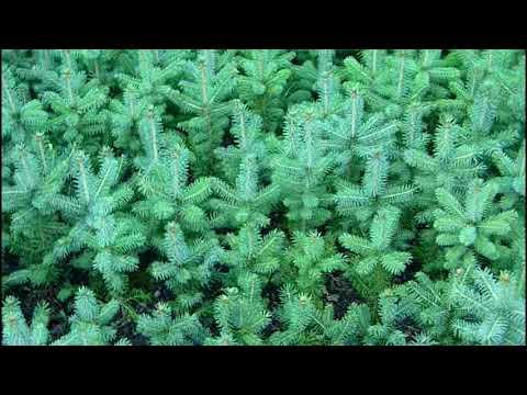 Выращивание ели колючей ф.голубая ч 3