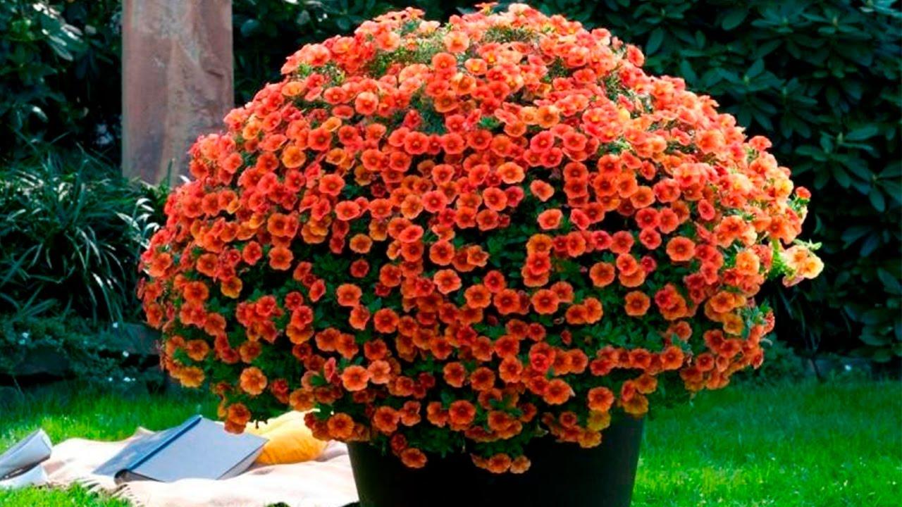 Семена цветка жарки