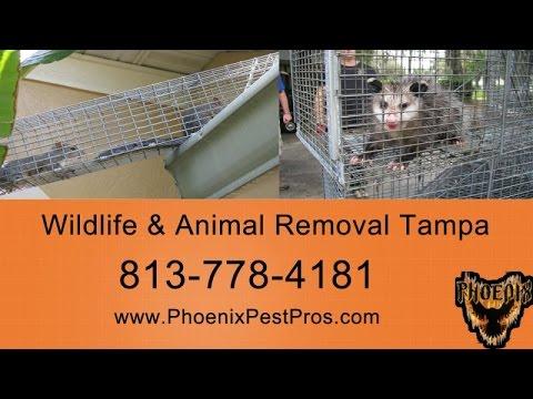 animal-removal-tampa---813-778-4181