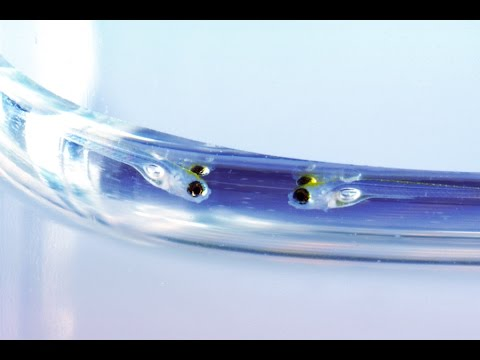 Zebrafish Development