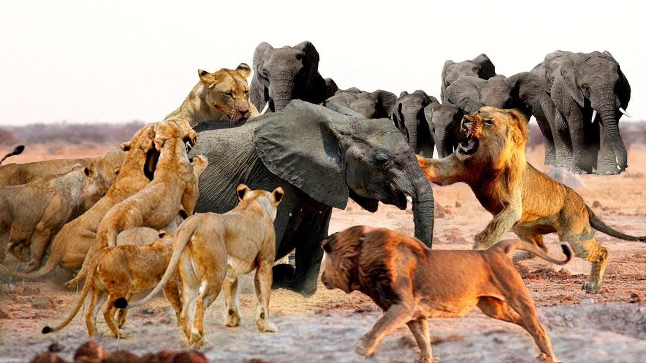 Mother elephant saves her son from predators  Lion,wild dog,buffalo
