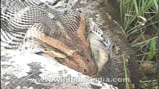 Python swallows a monkey whole!