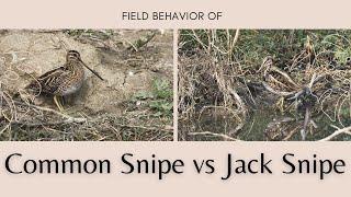 Download Common Snipe vs Jack Snipe ... Filed behavior and size comparison #BirdsOfIndia
