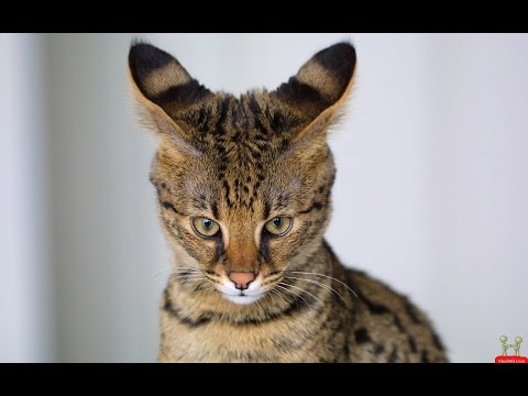 Beautiful Cat Breeds In The World, Top 5 cat, beautifull  cat
