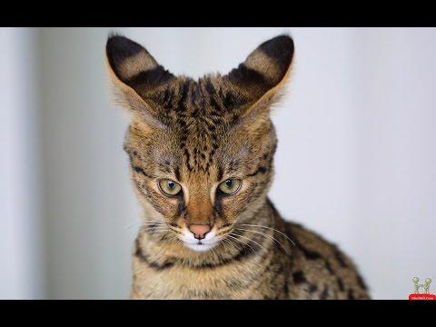 Beautiful Cat Breeds In The World, Top 5 cat, beautifull  cat