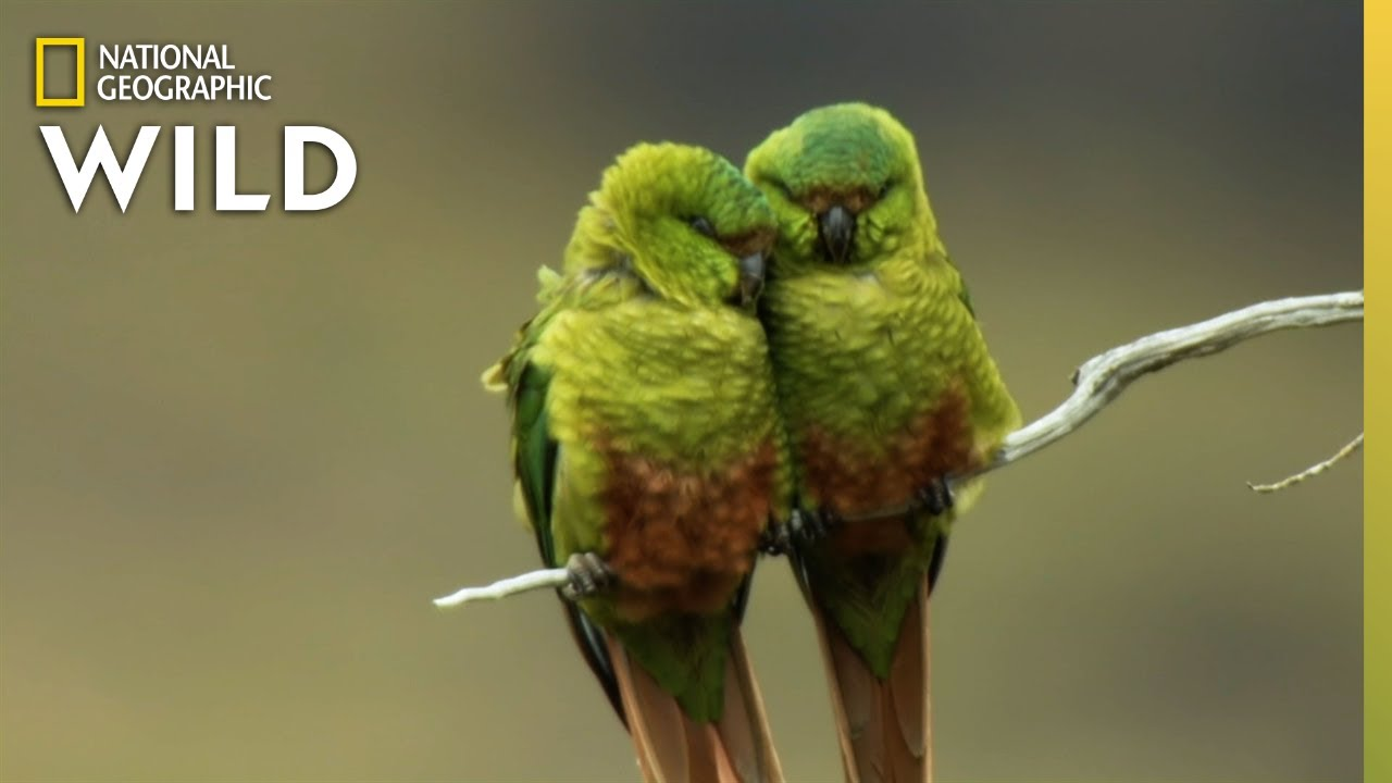 Birds Battle For Territory in Chile | Nat Geo Wild