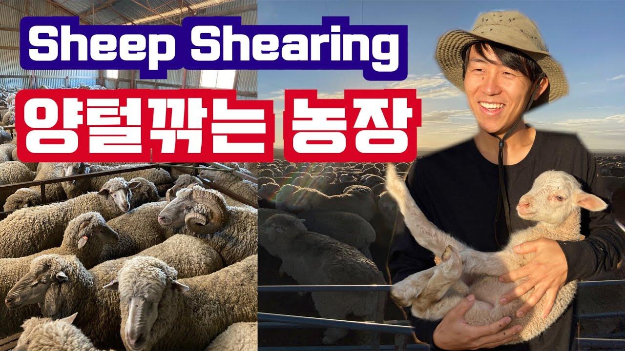 [호주워홀] 🇯🇵일본인친구가 알려주는 숨은 양털깎는 농장 정보공유 (세컨비자)