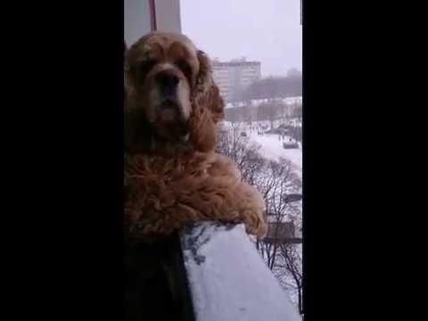Американский Кокер-спаниель на балконе  \\ American cocker spaniel
