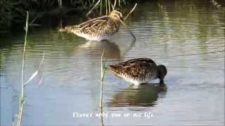 Mijn Valentijn/Happy Valentine: My endless love (watersnip, Gallinago gallinago, Common snipe)