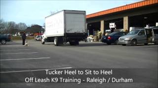 "English Bulldog ""tucker"" Before And After Video - Raleigh Durham Dog Training"