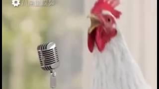 Интересно как же на самом деле поют курицы