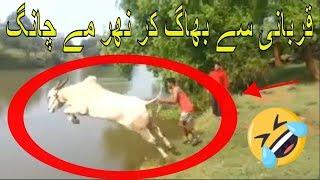 Eid ul Azha Status || Funny Cow Whatsapp Status Video || Funny Qurbani Whatsapp Status || Bakra Eid