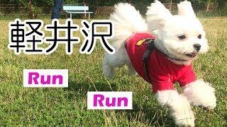 マルチーズ(Maltese)とポメラニアン(Pomeranian)のミックス犬(マルポメ/...