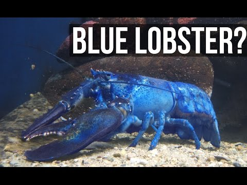 Interesting Facts About Lobsters - MOTHERLOADED