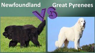 Newfoundland VS Great Pyrenees  Breed Comparison  Great Pyrenees and Newfoundland Differences