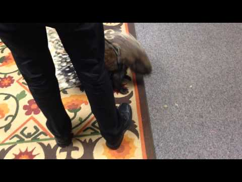 Porcupine visits the Houston Chronicle office