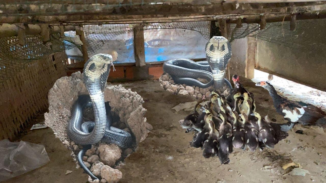 50 Con Vịt Bị Mất Tích Khi Phát Hiện Đàn Rắn Hổ Đất Tấn Công Vào Nhà Dân Lúc Nữa Đêm (Hunter Cobra)