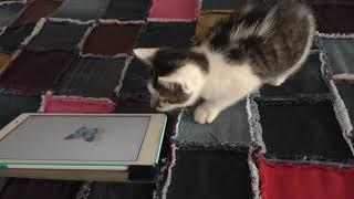 Жизнь в Польше Кот играет в планшете в игры Это надо видеть