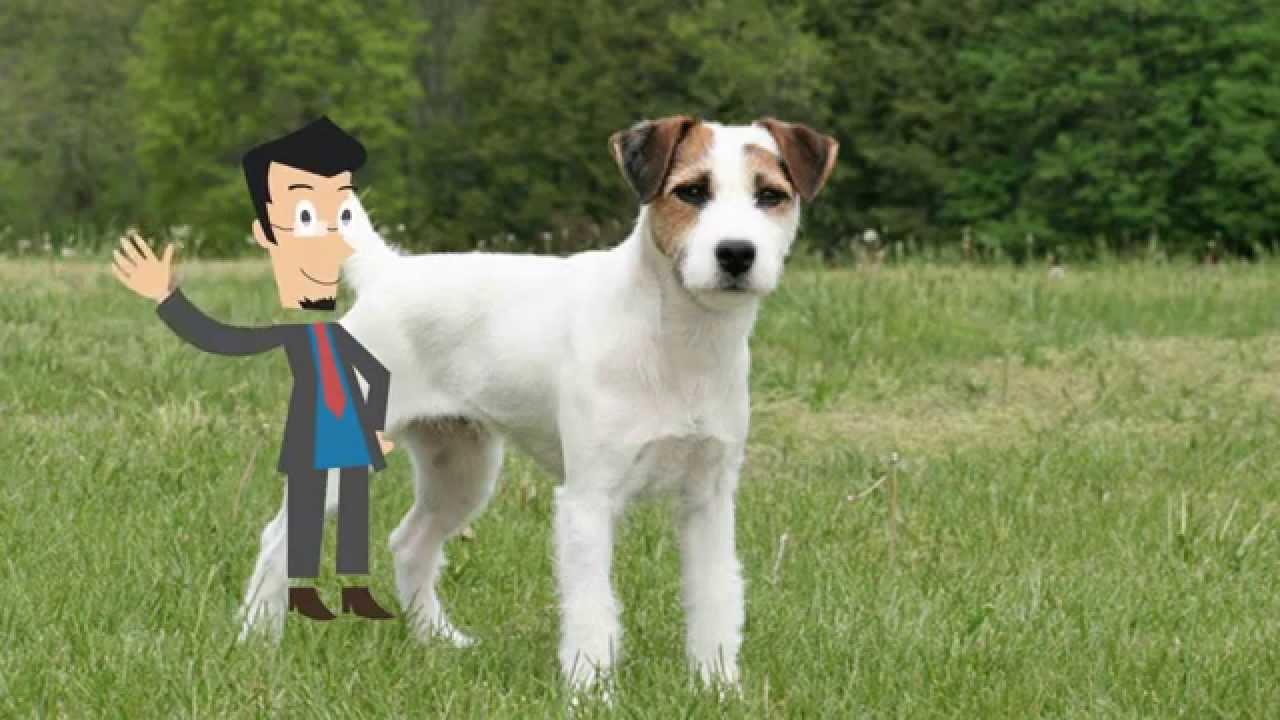 Razas de perros jack russell terrier jrt jack youtube - Jack russel queue coupee ...