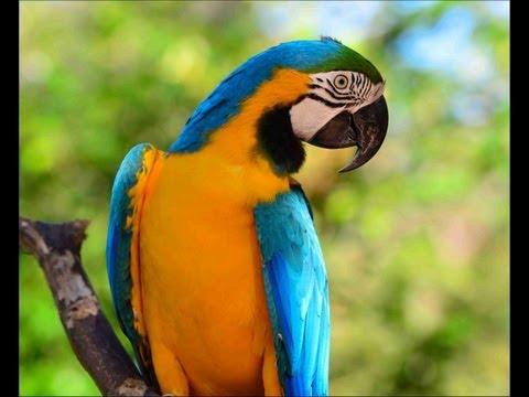 Birdworld Australia. Blue Yellow Macaw plays.