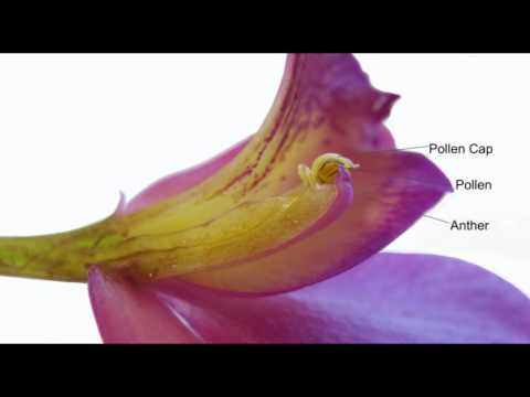 Growing Tips  Pollinating Orchids