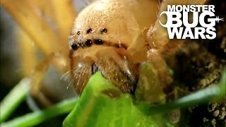 Badge Huntsman Spider Vs Spider Hunting Scorpion | MONSTER BUG WARS