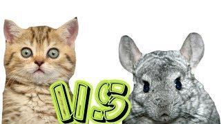 Кто смелее: шиншиллы или кошки?